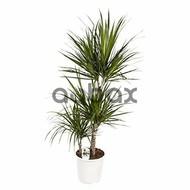 Draçena marginata - Dibçək gülü