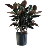 Ficus - Dibçək gülü